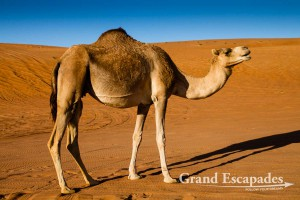 Camel (Camelus), Wahiba Sands, or Ramlat al-Wahiba (also called Sharqiya Sands), Sultanat of Oman, Arabic Peninsula