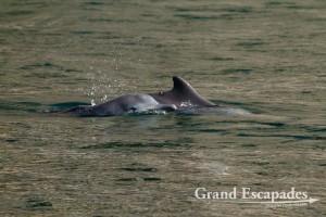 Common Dolphin (Delphinus Delphis) in the Fjords (Khor) of Musandam