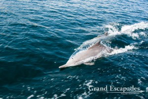 Common Dolphin (Delphinus Delphis) can be seen during a  Dhow Cruise in the Fjords (Khor) of Musandam, Sultanat of Oman, Arabic Peninsula