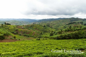 Large tea plantations, a few on flat terrains, but most sneaking up hills, are another common sight in Uganda. The different green of the leaves make them pleasant eye-catchers. West Uganda, Africa