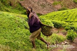 Tea Picking, West Uganda, Africa