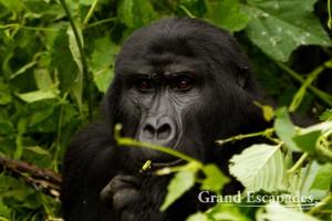Mountain Gorilla (Gorilla Gorilla Beringei), Family Habinyanja, Bwindi Impenetrable National Park, West Uganda, Africa