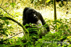 Mountain Gorilla (Gorilla Gorilla Beringei), Family Habinyanja, Makara, the Silver Back, Bwindi Impenetrable National Park, West Uganda, Africa