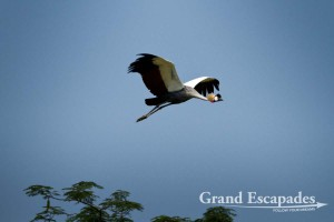"Grey Crowned Crane (Balearica Regulorum), also called ""The Pride of Uganda"", Bigodi Wetland, near Kibale Forest, West Uganda, Africa"