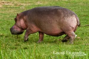 Hippopotamus (Hippopotamus Amphibius), Queen Elisabeth National Park, West Uganda, Africa