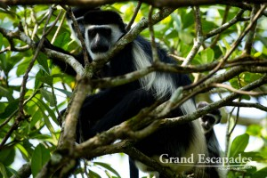 Black and White Colobus Monkey (Colobus guereza), Bigodi Wetland, near Kibale Rainforest, North Uganda, Africa