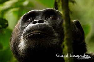 Alpha Male Chimpanzee (Pan Troglodytes), Kibale Rainforest, North Uganda, Africa