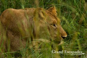 Lion (Panthera Leo), Murchison Falls National Park, North Uganda, Africa