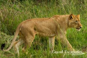 Lion (Panthera Leo), Murchison Falls National Park, North Uganda, Africa