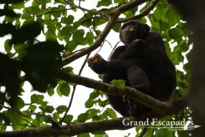 Chimpanzee (Pan Troglodytes), Budongo Forest, Murchison Falls National Park, North Uganda, Africa