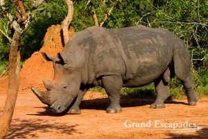 Alpha Male, Northern White Rhinoceros (Ceratotherium Simum Cottoni), Ziwa Rhino Sanctuary, North Uganda, Africa