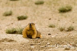 Himalayan Marmot (Marmota Himalayana), Tso Moriri, Ladakh, India