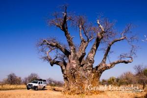 Baobab Tree, near Mana Pools National Park, Zimbabwe, Africa