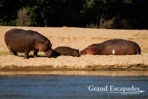 Hippopotamus (Hippopotamus Amphibious), Mana Pools National Park, Zimbabwe, Africa