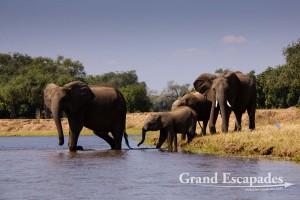 African Elephant (Loxodonta Africana), Mana Pools National Park, Zimbabwe, Africa