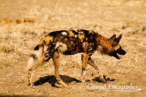 A group of 13 of the very rare Painted Dogs or African Wild Dogs (Lycaon Pictus) after an Impala (Aepyceros Melampus) Kill, Mana Pools National Park, Zimbabwe, Africa