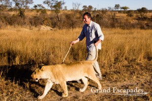 Walking with Lions, Antelope Park, near Gweru, Zimbabwe, Africa