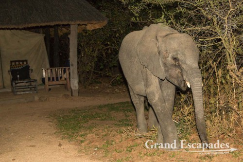 An unexpected vistior - Young African Elephant (Loxodonta Africana), in Bushman's Baobabs Lodge at the edge of Liwonde National Park