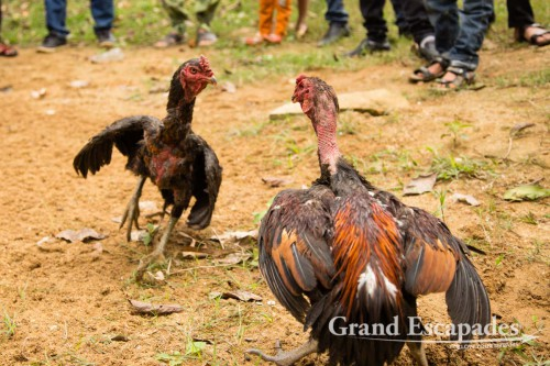 Rooster Fight, near Phong Nha, Phong Nha - Ke Bang National Park, Vietnam