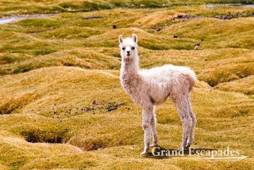 Lama, Southwest Bolivia, South America