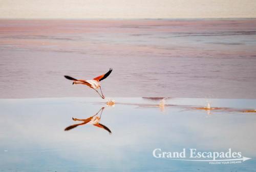 Andean Flamingos (Phoenicopterus Andinus), Laguna Colorada, South West Bolivia, South America
