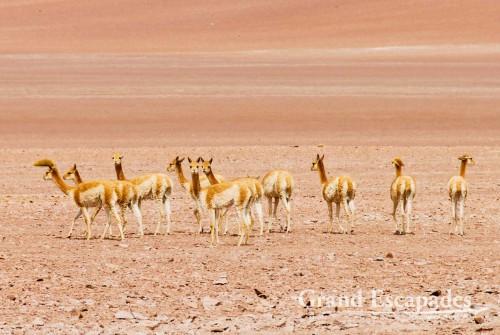 Vicuña (Vicugna vicugna), Desierto Siloli, South West Bolivia, South America