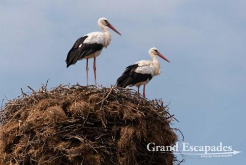 Stork (Ciconiidae) in their nest, Vidin, Bulgaria, Europe