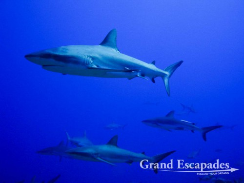 Photo: Guillaume Fuenfrock, 5Rock Production, Fakarava, French Polynesia. In five dives, we actually saw more than two hundred Grey Reef Sharks, sometimes being surrounded by them and having them swimming between us