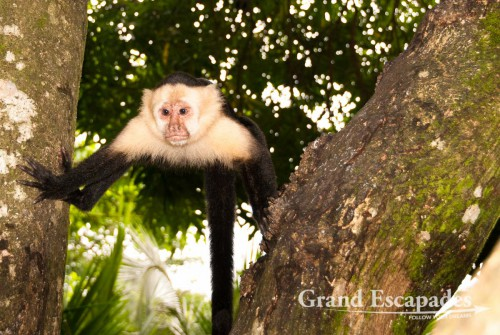 White-faced capuchin (Cebus capucinus), also called mono cariblanco, in the secondary rain forest, Punta Burica, Golfo de Chiriqui, Panama, close to the Border to Costa Rica, Central America