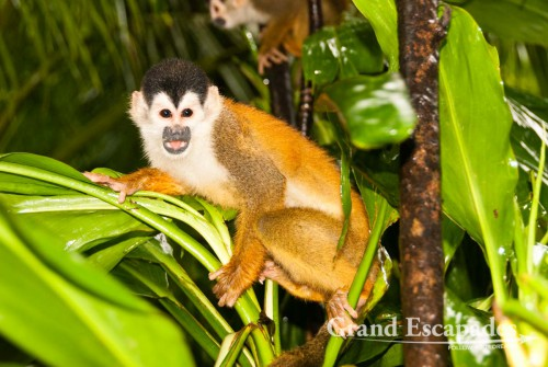 Highly endangered specie, Central American Squirrel Monkey (Saimiri oerstedii), also called Mono Titi, in the secondary rain forest, Punta Burica, Golfo de Chiriqui, Panama, close to the Border to Costa Rica, Central America