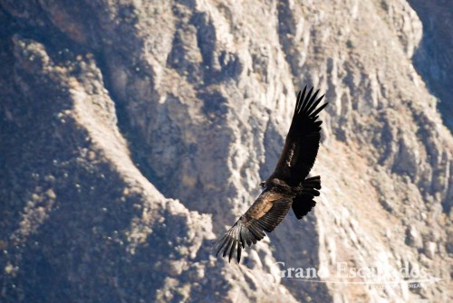 At Cruz del Condor, we could see many Condors gliding through the Canyon in the morning sun for more than two hours ...