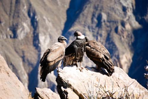 Condor (Vultur gryphus),  Cruz del Condor, Colca Canyon or Canyon de Colca, Cabanaconde, Peru