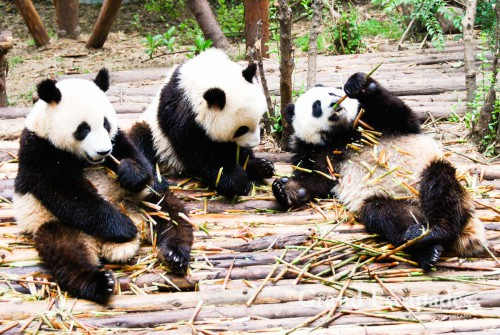 Giant Pandas, Giant Pandas Breeding Research Base, Chengdu, China