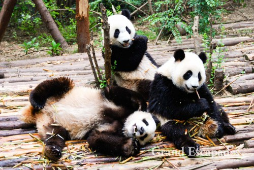 Giant Pandas, Giant Pandas Breeding Research Base, Chengdu, China