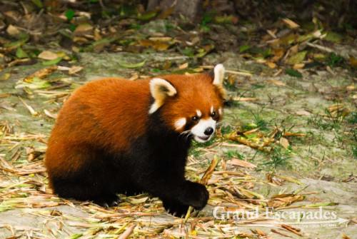 Red Panda, Giant Pandas Breeding Research Base, Chengdu, China