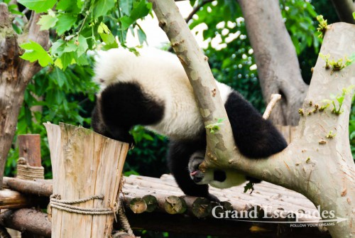 Baby Giant Pandas, Giant Pandas Breeding Research Base, Chengdu, China