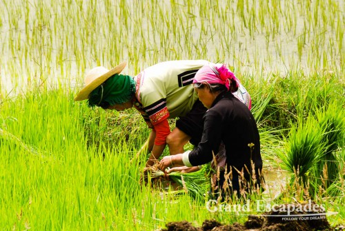 Working on the rice fields at the Rice Terrasses of Yuanyang, Yunnan, China