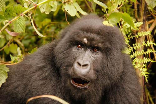 18-150-Rwanda-Gorilla-192