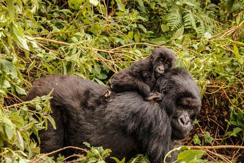 18-150-Rwanda-Gorilla-211
